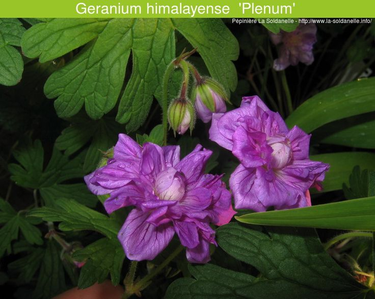 1000 images about geraniums vivaces hardy geranium on for Pepiniere