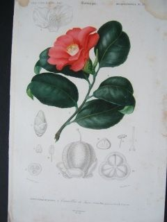 Cameliia. Hand colored steel engraving. Orbigny.1856.  170 x 270 mm