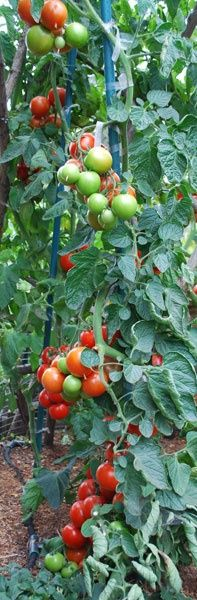 Growing Tomatoes - Linked to Incurable Gardening Addiction... lots of great tomato growing info here