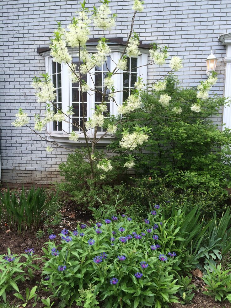 Fringe tree and centaura Montana (perennial bachelor's button)- May 16, 2015