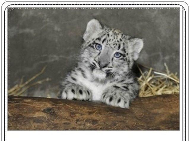 Bebek Kar Leoparı