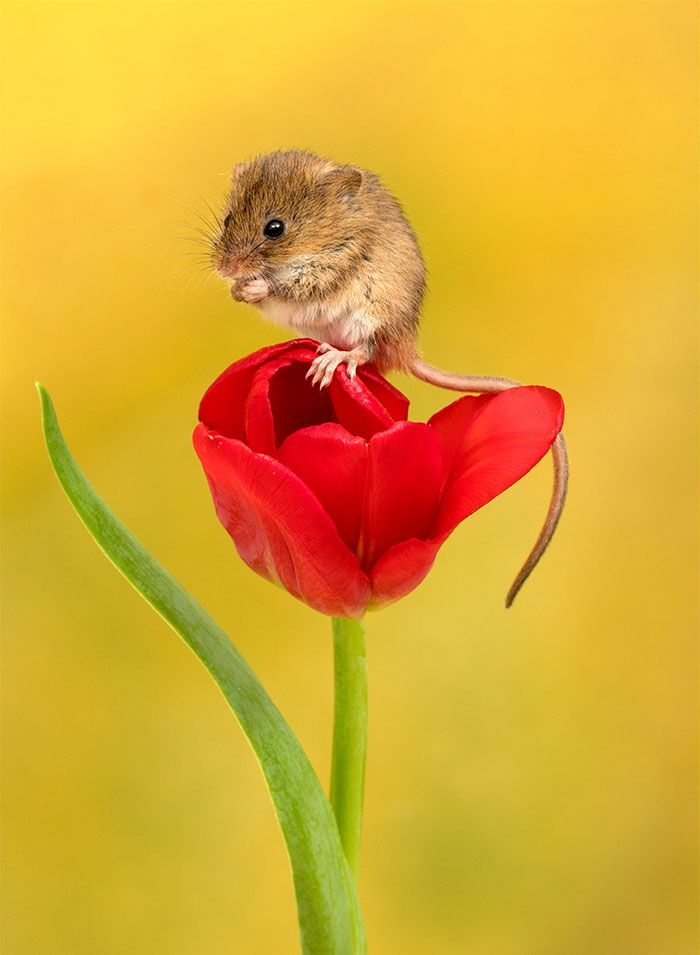 be454b802af Photographer Tiptoes Through The Tulips To Photograph Mice (20 Pics) |  meeses | Harvest mouse, Mouse photos, Wild animals photos