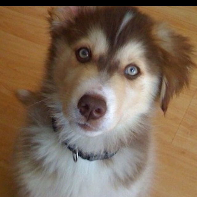 Golberian-golden retriever Siberian husky mix - I want one!! (Ok this one may actually be a golden/husky, but my money is still on Aussie)