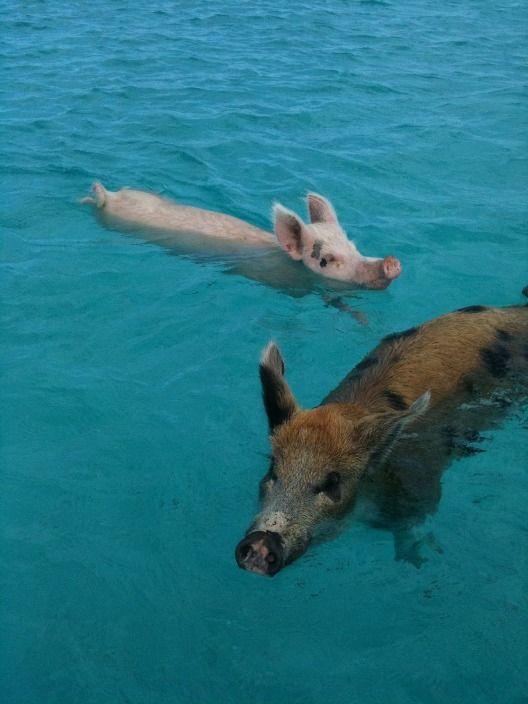 Свиньи в воде. Багамы. Фото