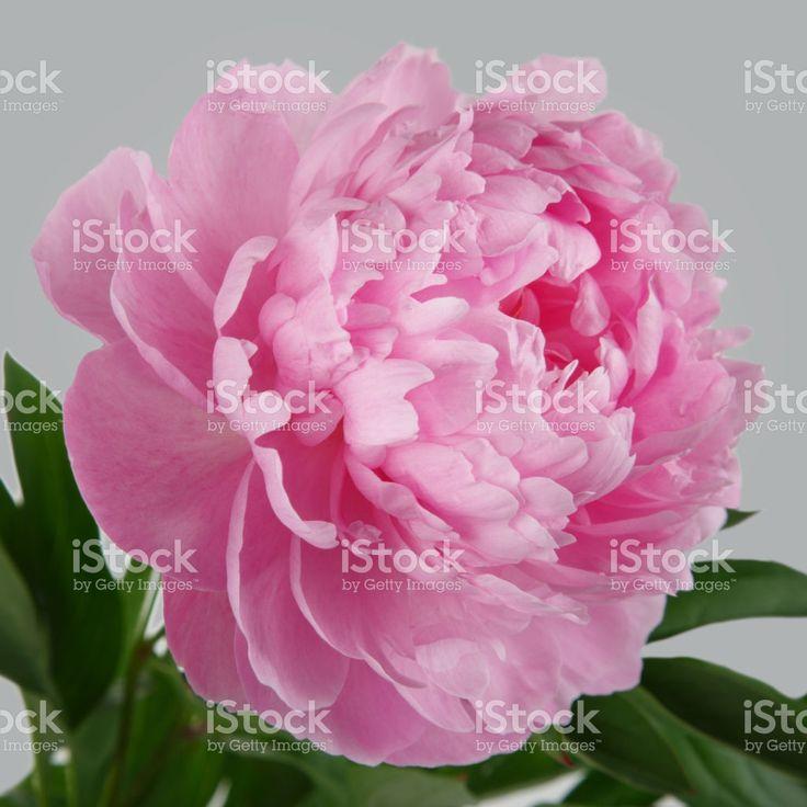 Pink flower peony isolated on gray background Стоковые фото Стоковая фотография