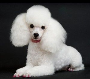 Toy Poodle Groom - A standard groom, but it is so polished.