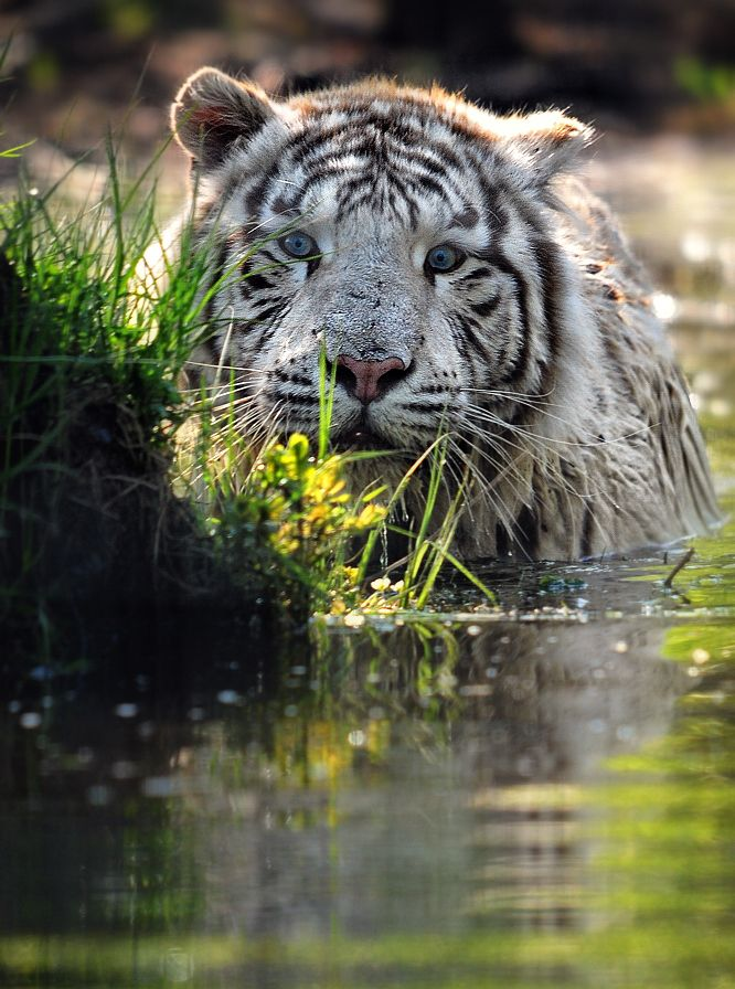 Amazing wildlife - White Bengal tiger photo #tigers                                                                                                                                                      More