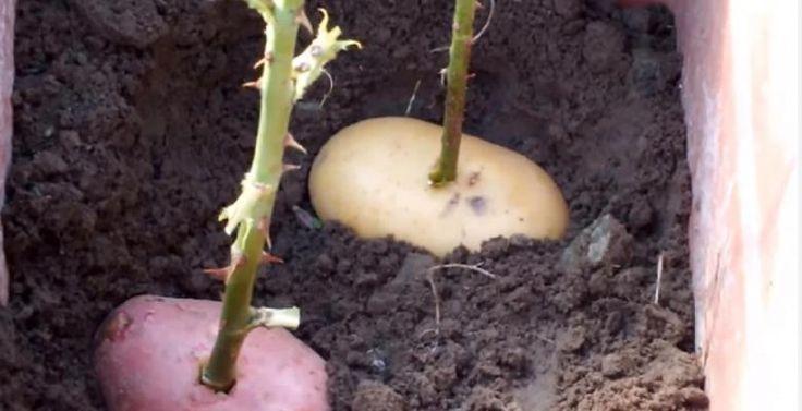17 meilleures id es propos de planter des pommes de terre sur pinterest compagnonnage. Black Bedroom Furniture Sets. Home Design Ideas