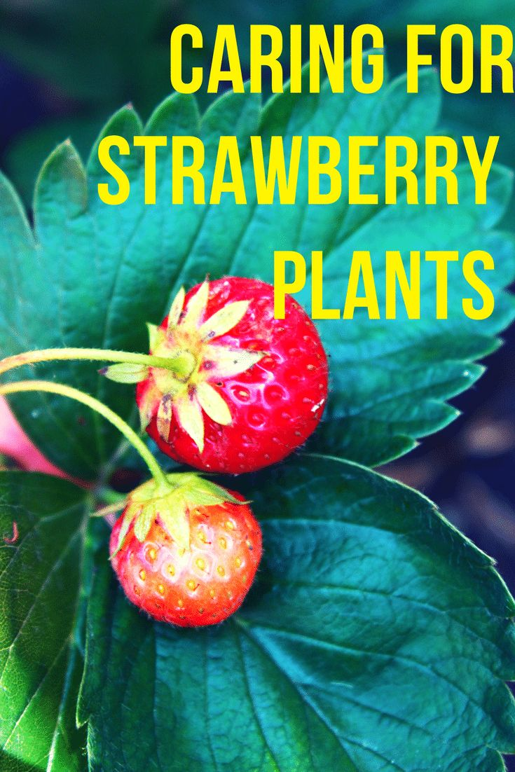 best 25 strawberry bush ideas on pinterest strawberry beds