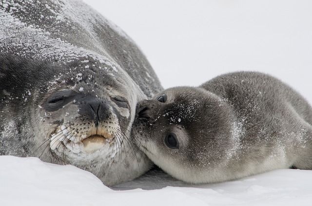 Weddell Seals dive differently based on their surroundings! #research #marine #mammals #seals #biology #ecology #environment