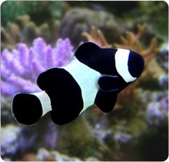 Black & White Ocellaris ALL BLACK - Captive Bred - Amphiprion ocellaris