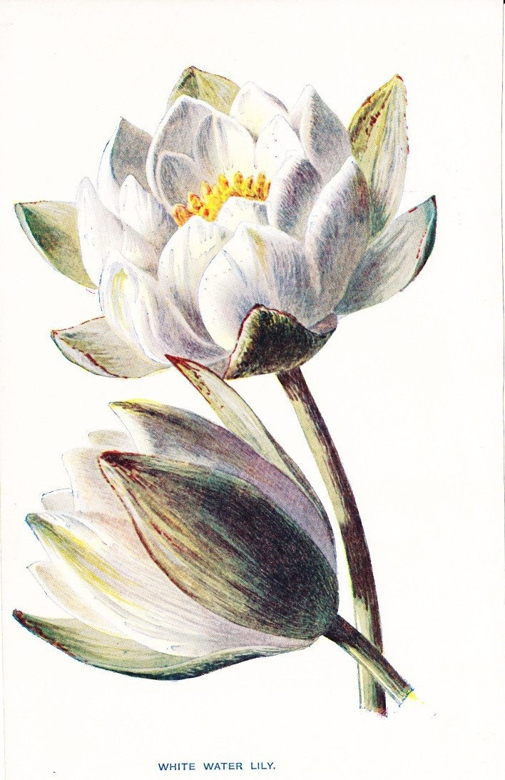 1900 Botany Print - White Water Lily
