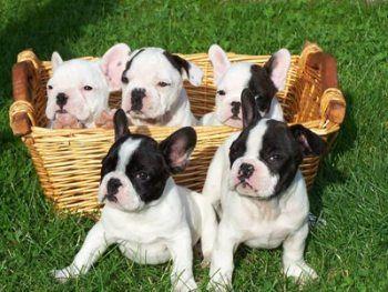 Criaderos de Cachorros de la Raza Bulldog Francés http://www.mascotadomestica.com/criaderos-de-perros-en-el-mundo/criaderos-de-cachorros-de-la-raza-bulldog-frances.html