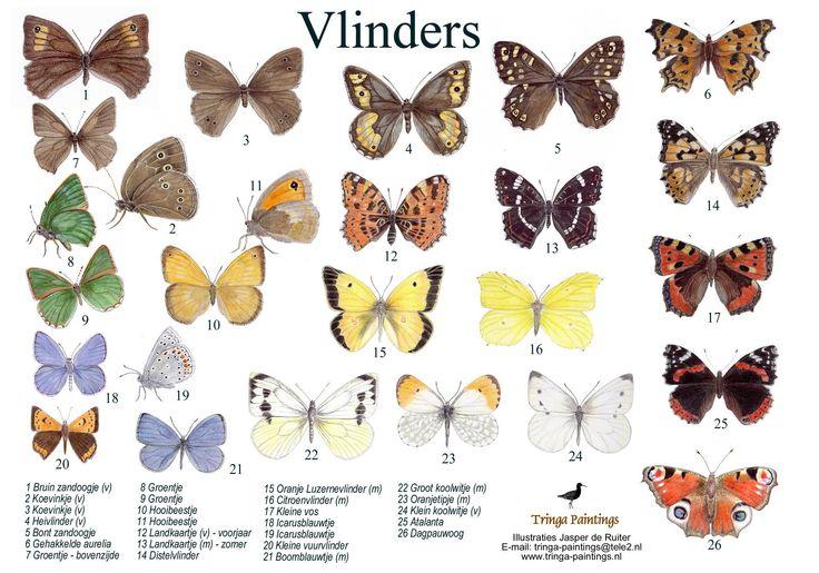 Zoekkaart Vlinders  LESIDEE: hang de vlinders verspreid over de klas en laat ze deze zoeken met de zoekkaart.