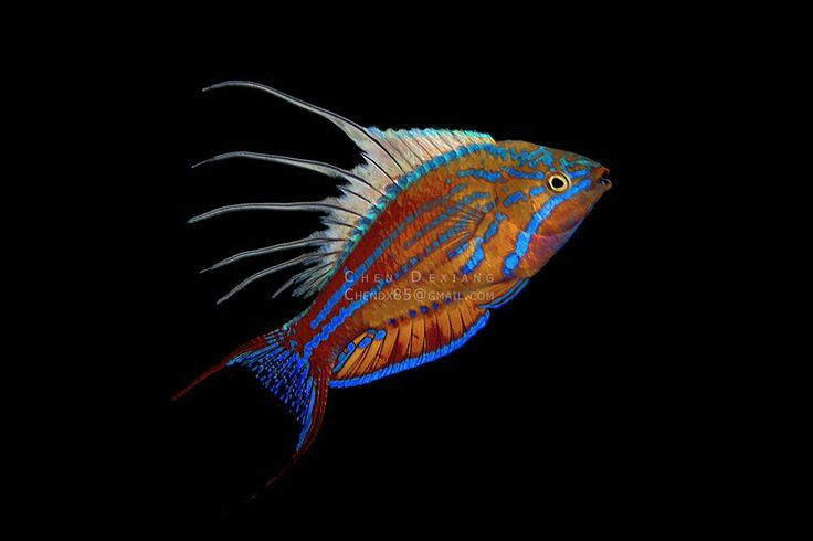 Filamented Flasher Wrasse by Chen Dexiang