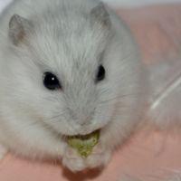 Les friandises et autres compléments alimentaires développent la curiosité gustative du hamster et lui apportent des nutriments (vitamines, protéines, minéraux) en plus de son alimentation de...