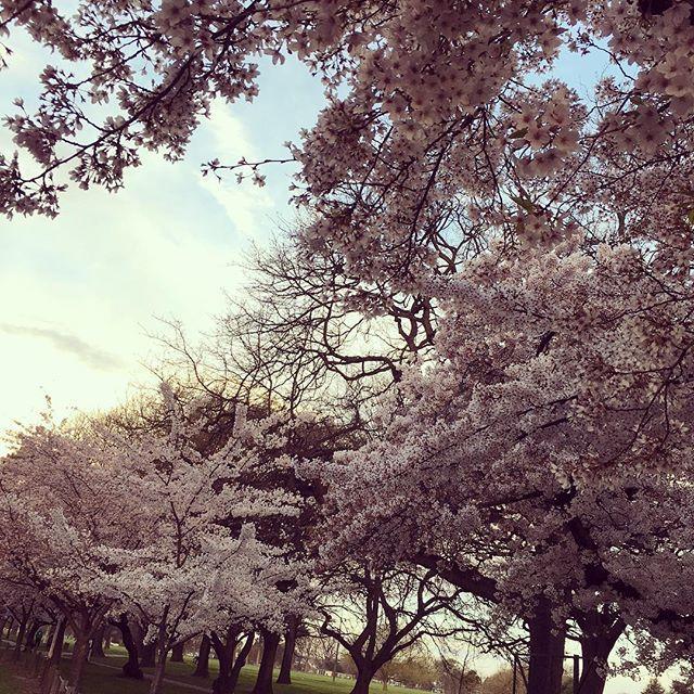 【ireiyumi】さんのInstagramをピンしています。 《桜の時  PM7:30  日曜よりday light saving スタートした。時差4時間、日本と。  cherryblossum street between north n south hagley park, makes my japanese heart calm so much.. #桜並木 #桜 #綺麗 #写真撮る人 #ほぼアジア人 #cherryblossum #blossumtree #springseason #daylightsavings》