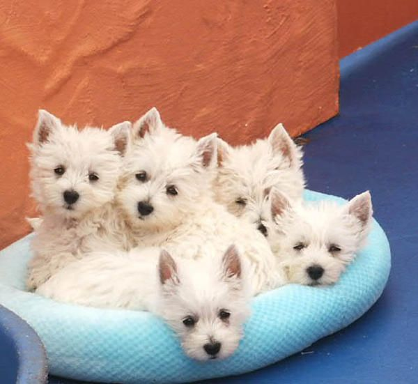 Possessed with no tiny level of self-esteem, the West Highland White Terrier is an all-white, compact, sturdy package of frolicsome energy.