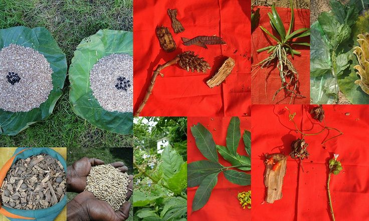 Medicinal Rice based Tribal Medicines for Diabetes Complications and Metabolic Disorders (TH Group-583) from Pankaj Oudhia's Medicinal Plant Database