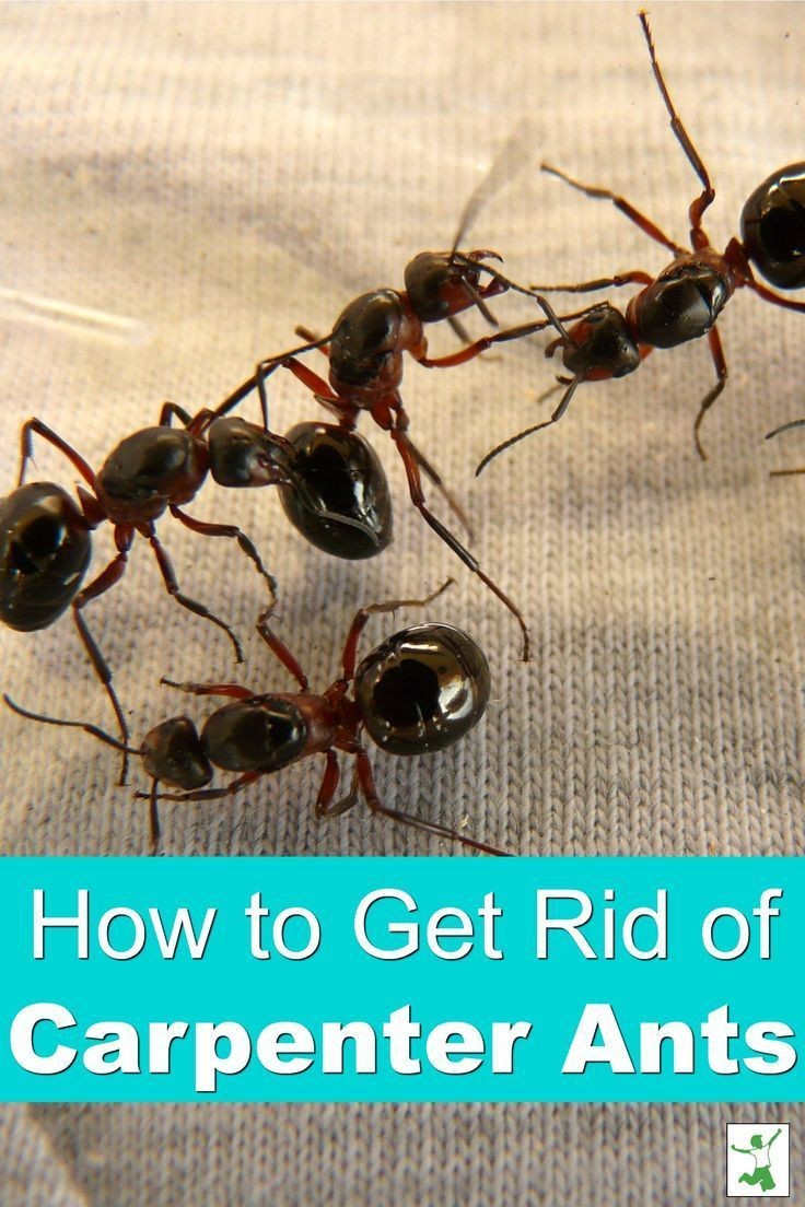 Safely Get Rid Of Carpenter Ants In A Snap Healthy Home Economist Carpenter Ant Get Rid Of Ants Ants