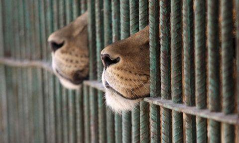 lion beaks
