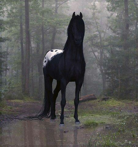 Black white rump Appaloosa Stallion. | Things for My Wall ...