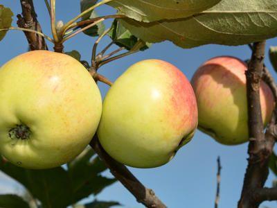 Плодожорка – самый опасный вредитель урожая. Современные методы борьбы / Плодожорка / 7dach.ru