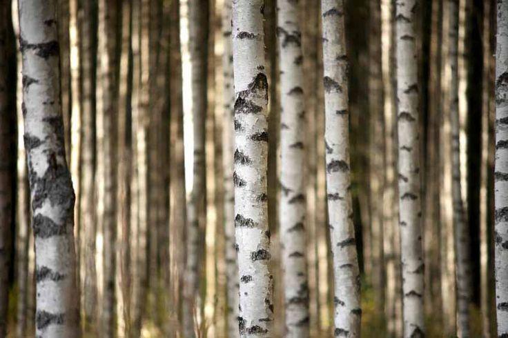 Vlies fotobehang Berkenbomen - Bomen behang   Muurmode.nl