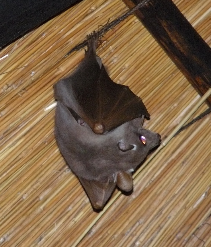 Fruit Bat. Skukuza Camp, Kruger National Park. South Africa.