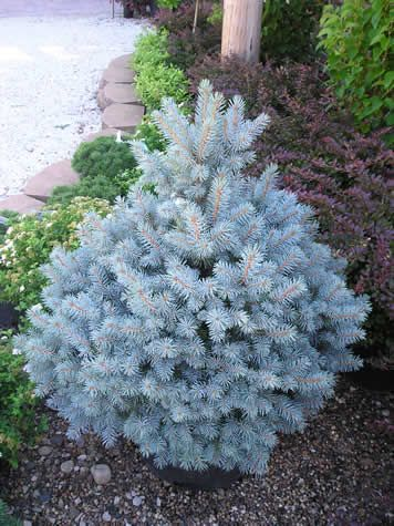 Dwarf Alberta Spruce. Sooooo want one.  I can have my christmas tree all year long!