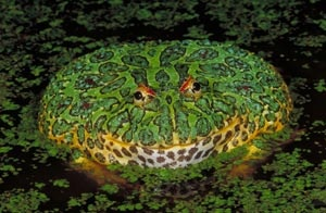 Ornate horned frogs have voracious appetites, but they are not built for chasing down prey. They bury themselves in leaves or loose soil and pounce on small animals that blunder by. When harassed by a human or other large animal, these fearless frogs lunge and snap their huge jaws. Like little green bulldogs, they bite and hang on until pried loose.: Inch Long, Inhabit Uruguay, Fat Frogs, Color, Horns Frogs, Mr. Big, Lifeless Pincushion, Northern Argentina, Ornate Horns