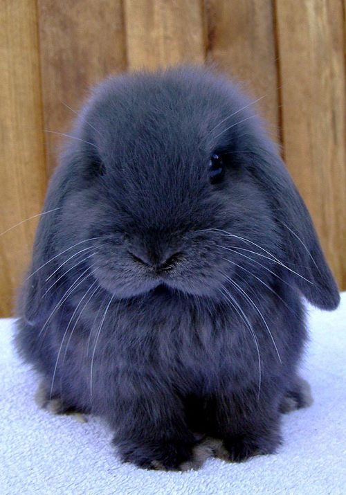 american blue bunny    beautiful <3