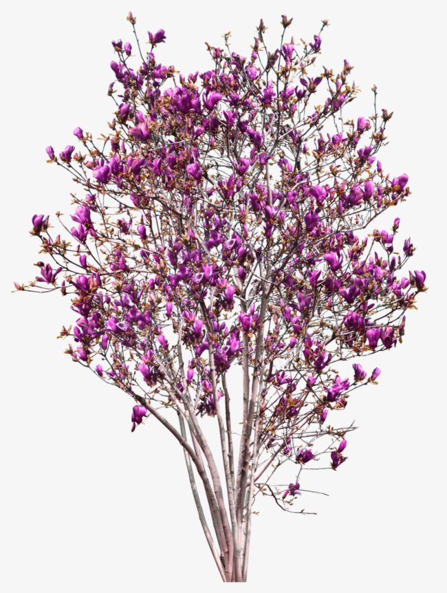 Pink Magnolia Tree Decoration Pattern Tree Clipart Pink Magnolia