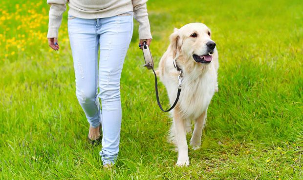 Leash Training Your Golden Retriever for No More Pulling!