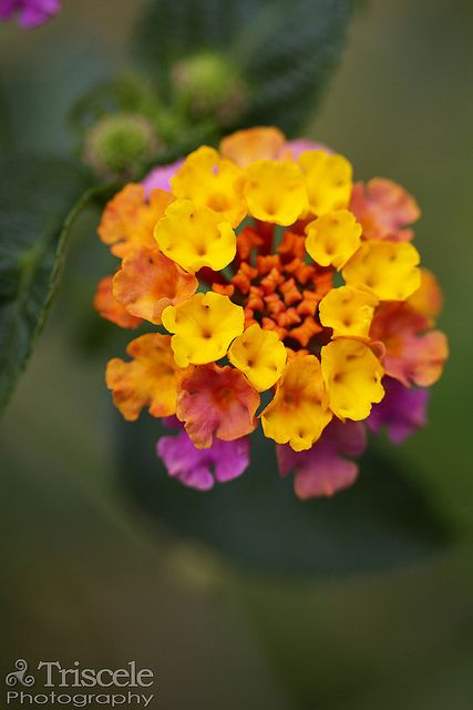 Lantana Camara -I just successfully started two of these....!/ATTRACTS: Monarch Butterflies along with many other kinds of Butterflies, Ruby Throated Hummingbirds and Birds. Important during migration to provide nutrients to Monarch Butterflies for the long trip to Mexico.
