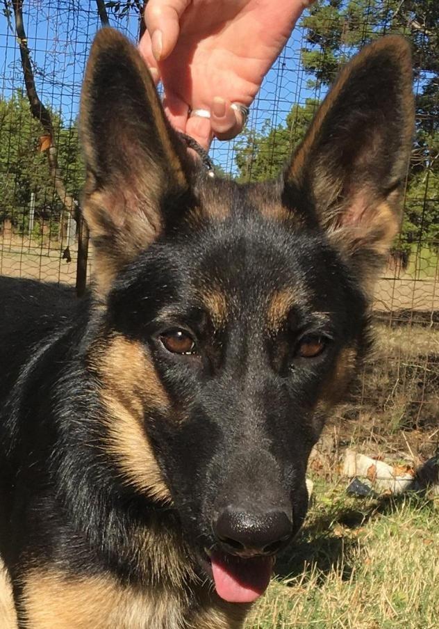 German shepherd for sale mn
