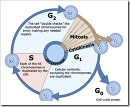 Difference between G1 phase and G2 phase in cell cycle...
