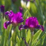 When to transplant irises