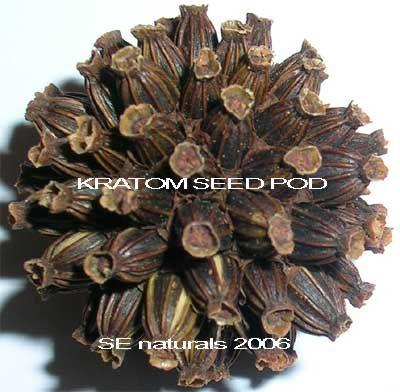 Kratom (Mitragyna speciosa) Seeds - VIABLE #16345