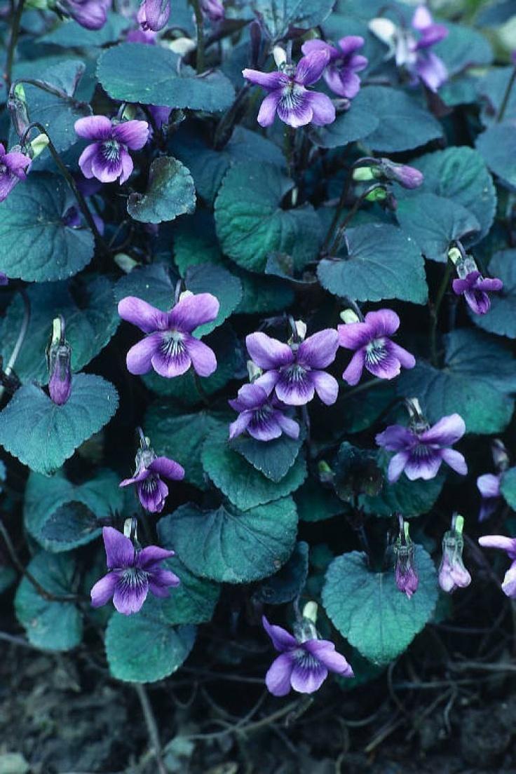 Viola labradorica 39 purpurea 39 labrador or american dog for Purple flower ground cover perennial