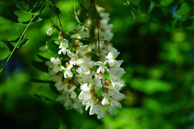 Beneficiile florilor de salcam