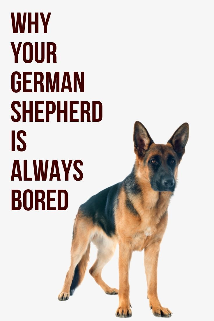 This Post Will Show You What Has Been Causing Your German Shepherd To Always Be Bored German Shepherd Long Haired German Shepherd German Shepherd Funny