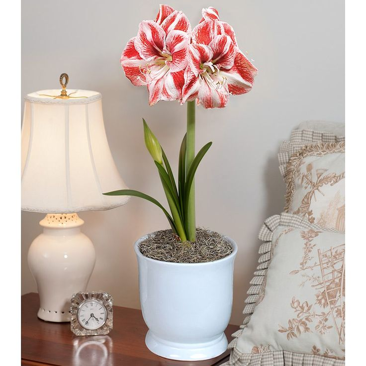 19 best plant collection images on pinterest gardening for Amaryllis graine