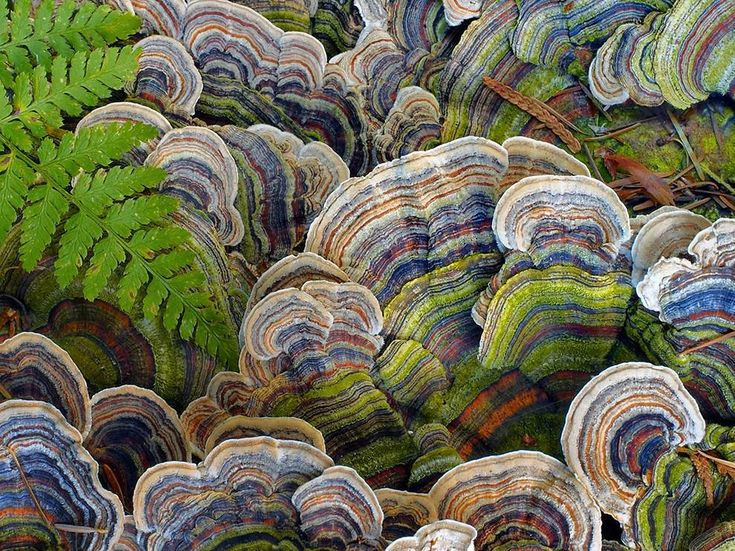 NOVEMBER 2, 2014 Turning Tail Photograph by Lance Isackson, National Geographic Your Shot  Turkey tail mushrooms, a type of bracket fungi, are spied on a fall day in Belcarra, British Columbia, Canada. Known particularly in Chinese medicine for its healing properties, the mushroom is believed to strengthen the immune system against disease and infection. Courtesy of National Geographic