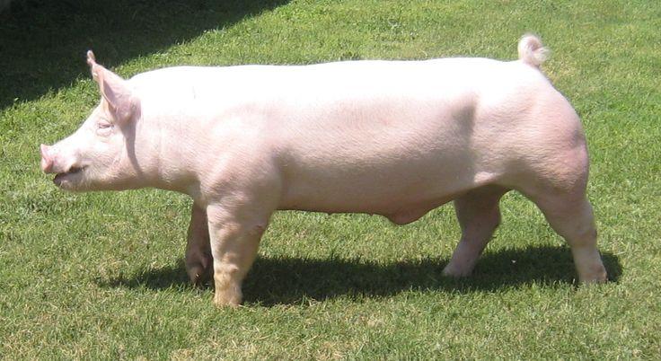 Ossabaw Island Hog Piglets For Sale