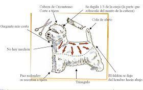 Un poco de historia   El West Highland White Terrier, más conocido por Whesty, desciende de los antiguos Terriers de caza escoceses. Su ex...
