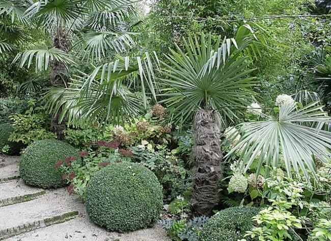 Planter le palmier chanvre  Appelé aussi Trachycarpus fortunei, le palmier chanvre est rustique jusque dans la région parisienne, s'il est placé dans un endroit abrité. En hiver, protégez-le de la neige et du gel avec des paillis