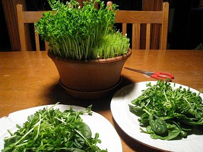 How to grow PEA SPROUTS.  These are SO very good.  Can be grown in dirt, potting mix, or on paper towels or fabric.  Love 'em!