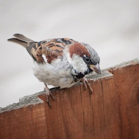 Winter is coming so it's time to give wildlife some extra help. I've written a blog post with a few tips on how to make life easier for birds - link in profile. This chap is a male house sparrow and sadly is on the conservation red list #birds #wildlife #homesfornature #winter #conservation #housesparrow #nature