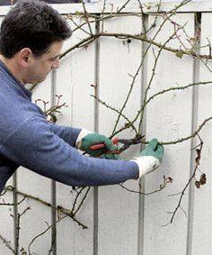 How to prune climbing roses - It's best not to procrastinate when it comes to pruning climbing roses.